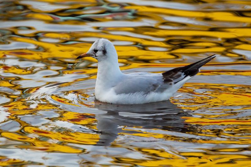 Black Headed Gull in winter plumage.