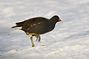 Moorhen with a cold foot !