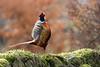 Male Pheasant.