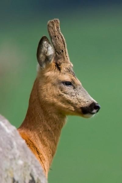 Roe Deer Buck in Velvet.