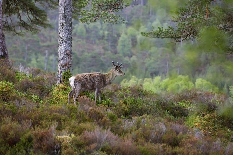 Red Deer in Velvet Horns. Old Caledonian Pine Forest.