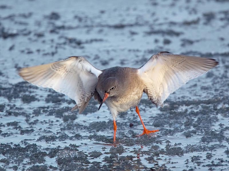 Redshank on Ice.