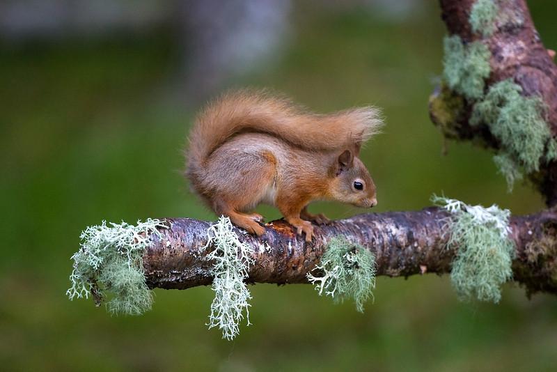 Red Squirrel in Summer Coat.