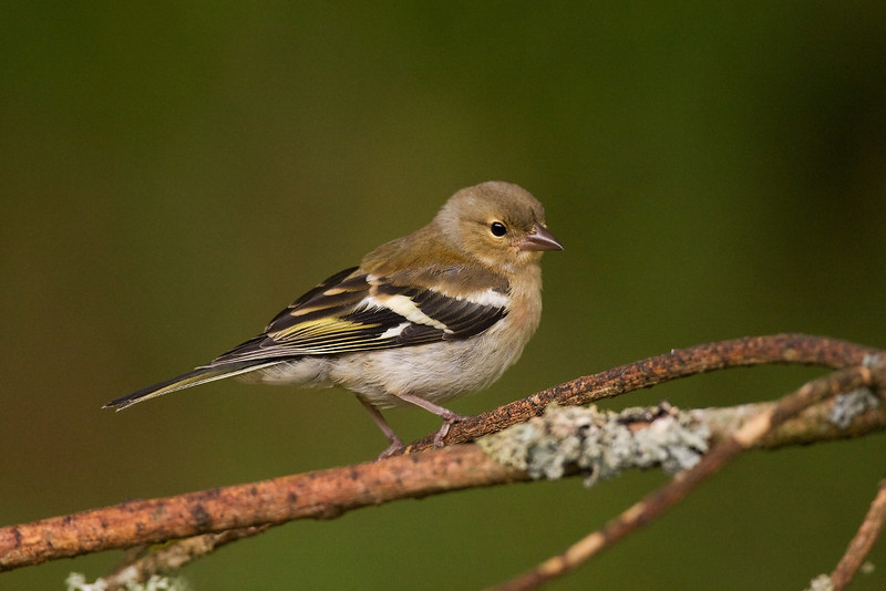 Female Chaffinch.