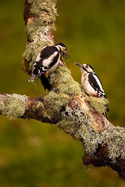 Great Spotted Woodpeckers. John Chapman.