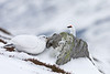 Peek a boo. 1 pair of Ptarmigans.