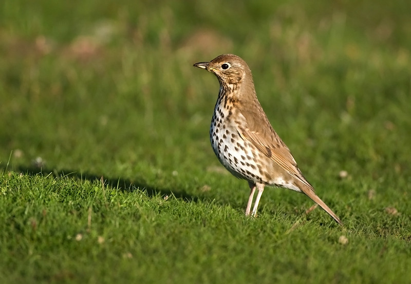 Songthrush with Food.