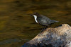 Dipper with food. John Chapman.