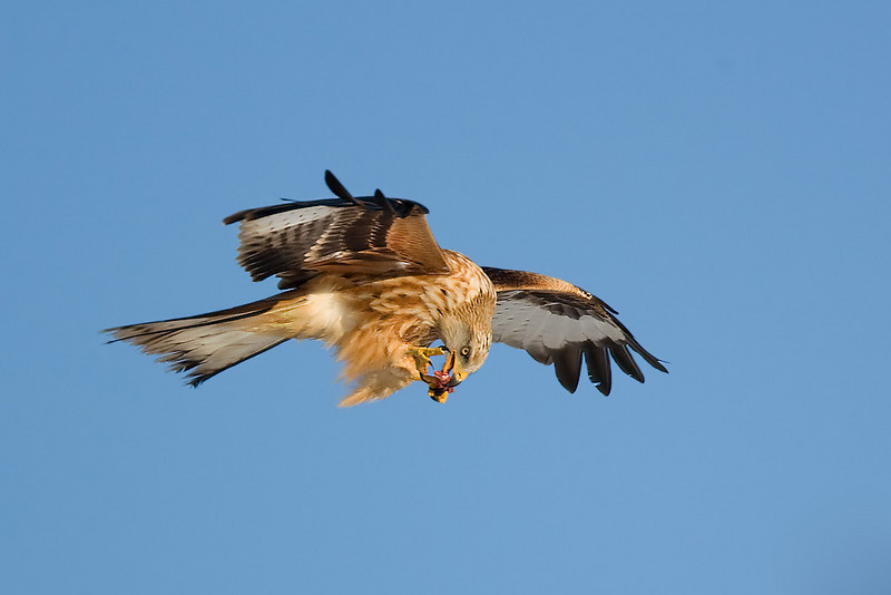 Red Kite with food.