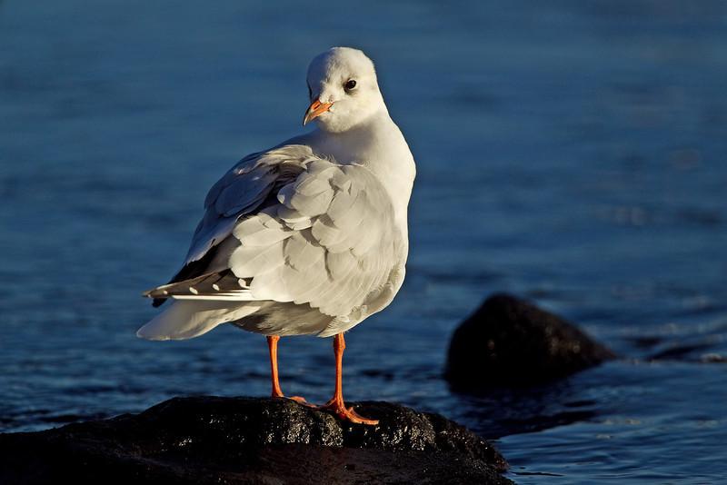 Black Headed Gull Winter Plumage.