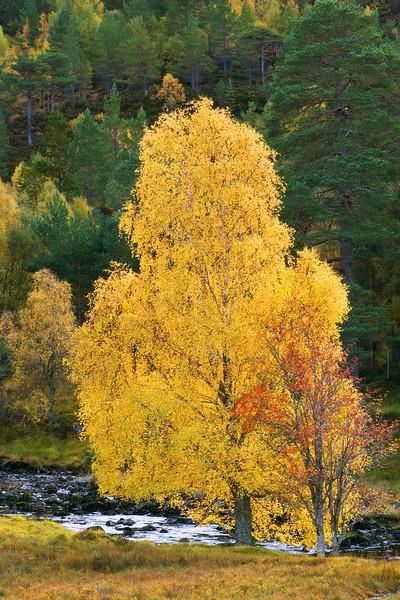 Autumn Birch. John Chapman.