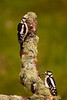 Great Spotted Woodpeckers.  Juv. male at the top. Adult female at the bottom.