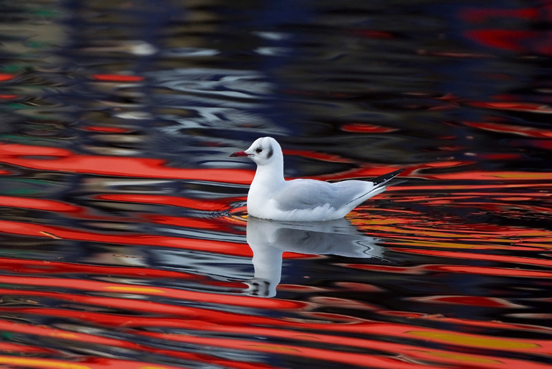 Adult Winter Plumage. Black Headed Gull. Picture in the Local Newspaper.
