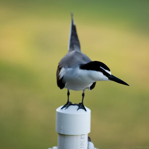 Bridled tern, Lady Elliot Island Queensland.