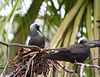 Nesting white capped noddy, Lady Elliot Island Queensland.
