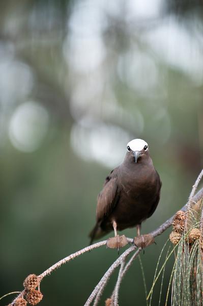 White capped noddy, Lady Elliot Island Queensland.