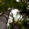 Bamboo, Melbourne Royal Botanic Gardens, Melbourne Victoria.