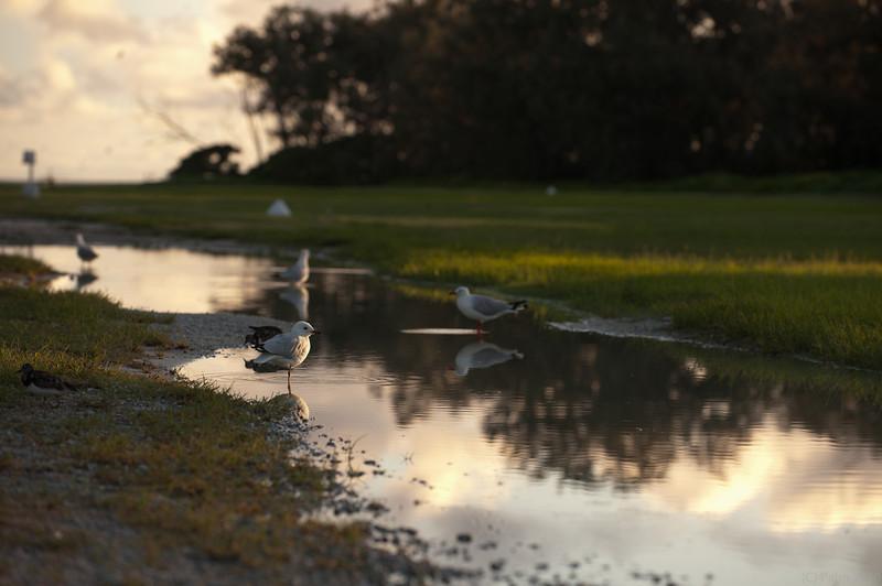 Silver gulls, Lady Elliot Island Queensland.