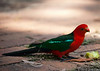Male Australian King Parrot at Pebbly beach, New South Wales.
