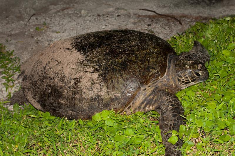 Green turtle, Lady Elliot Island Queensland.
