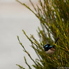 Male superb fairy wren at lake Curalo, Eden New South Wales.