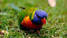 Rainbow lorikeet, New South Wales.