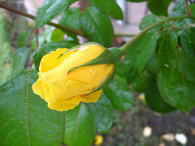I found this little yellow rose in Karen's garden on the morning that I left for Sitka.
