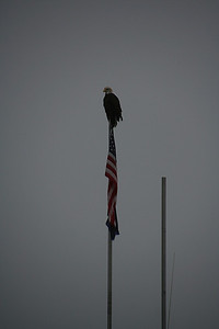 A bald eagle, watching as the early morning develops.