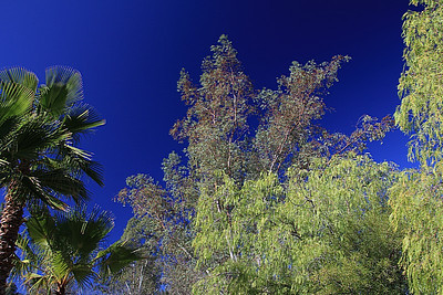 "Give a tree decades, and it will grow from 12 inches into many, many feet...  eucalyptus at ""The Ranch"".  Are you ready?"