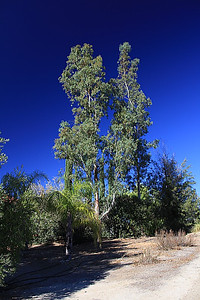 Ranch eucalyptus, polarized.