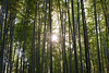 The bamboo grove at Arashiyama, Kyoto.