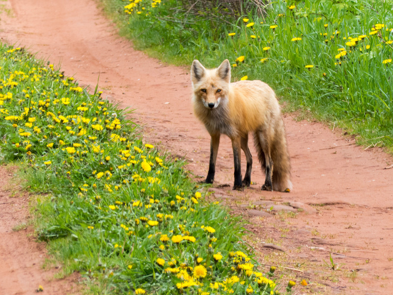 Red fox on road near the shore