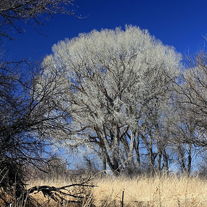 """Smoke Trees"" encountered during the day trip in the Arivaca area."