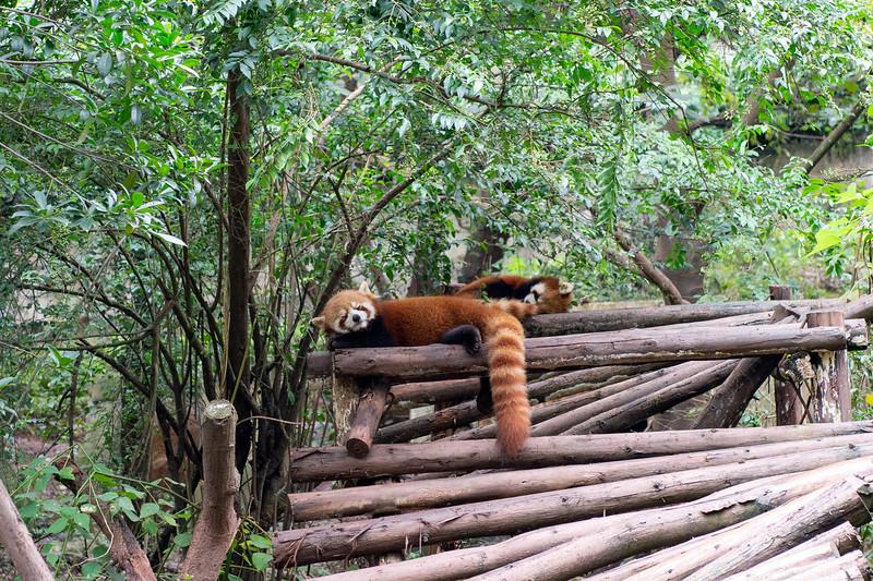 Red pandas, aka the Lesser Panda - Endangered