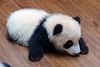 New born Panda