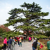Giant evergreen tree in the park