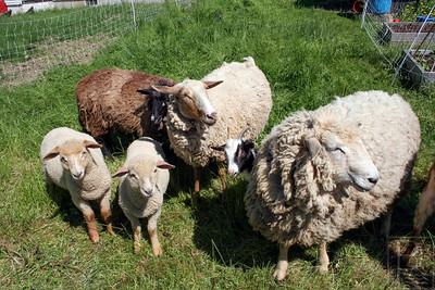 cp_8_timberwyck_sheep_060514