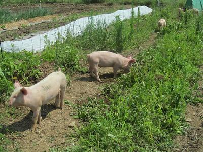 CP QuillsEnd Pigs 072414 TS