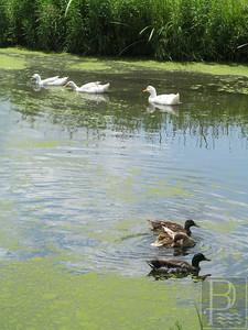 CP QuillsEnd Ducks 072414 TS