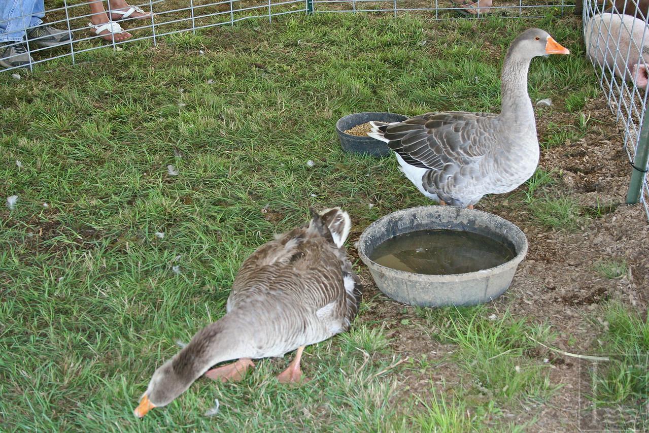APP BHF Animals Geese 090414 AB