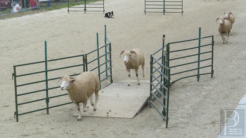 APP BHF app extra sheep dog 090414 FD
