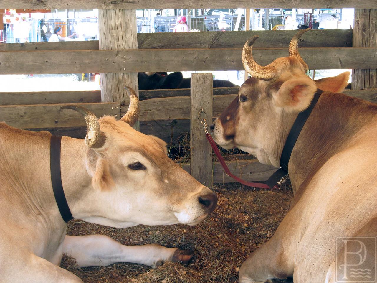 WP BHF Fair Animals Cows 090414 AB