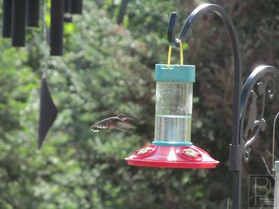 WP PlantingForBirds HummingBird 091814 TS.JPG