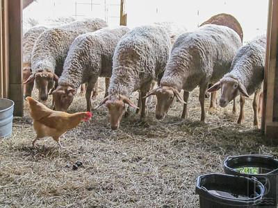 CP SaltRunFarmMarket Sheep 091814 TS