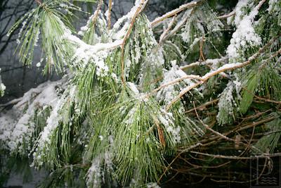CP snowy thanksgiving pine needles 120414 AB