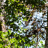 Howler monkey, Cabo Blanco Nature Reserve