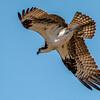 Saylorville Osprey