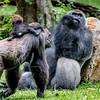Kansas City Zoo - Gorilla