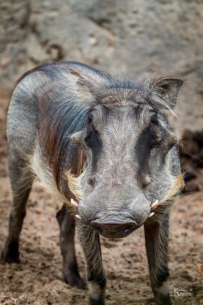 Kansas City Zoo - Warthog