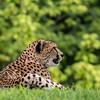 Kansas City Zoo - Cheetah